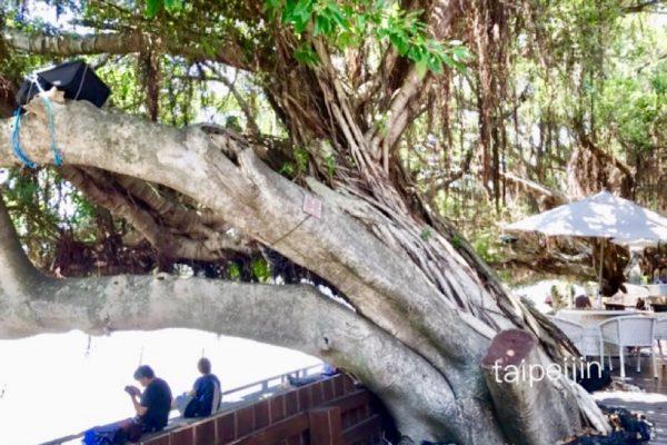 淡水榕堤水湾餐廳のガジュマルの木
