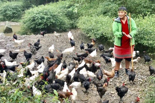 鶏の餌やり