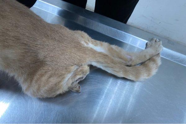 猫の曲がった足