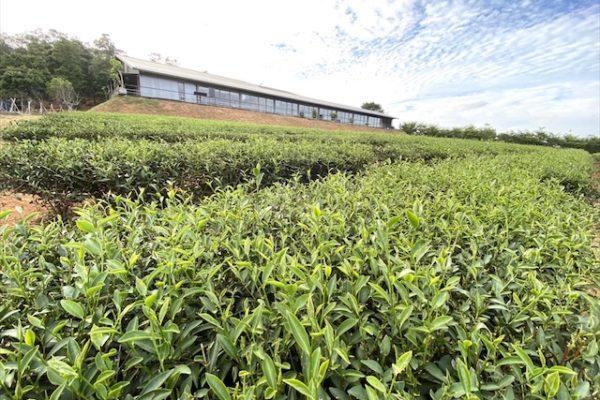 銅鑼茶廠の外観