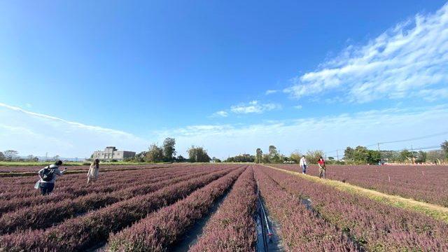 仙草の花畑